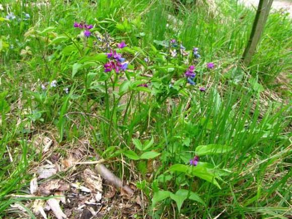 Frühlingsblatterbse Familie Schmetterlingsblütler