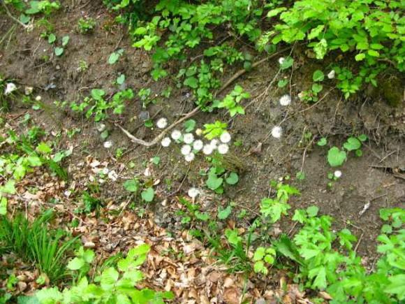 verblühter Huflattich Familie Korbblütler